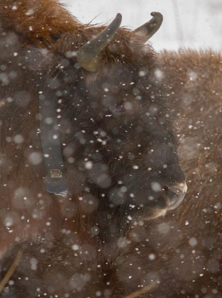 Wisent in de sneeuw
