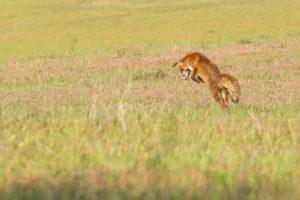 #Wild | Vos op muizenjacht